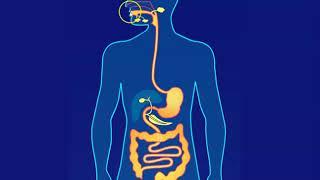 Organisation du système digestif