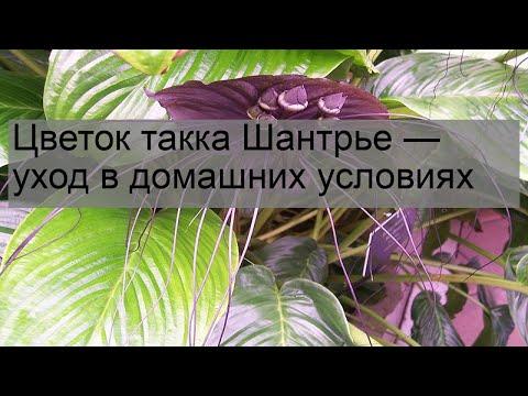 Цветок такка Шантрье — уход в домашних условиях