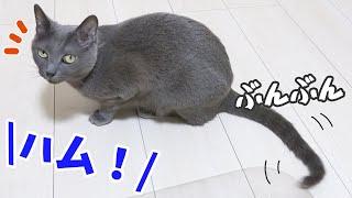 ママには無なのにパパには尻尾で返事する猫ハムちゃん