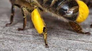 3. Пыльца на прилетной доске - что делать?  Пчеловодство для начинающих.