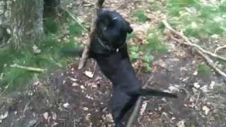 Crazy Staffordshire Bull Terrier