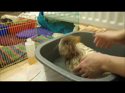 Bathing Guinea Pigs:  Information, Products and Handy Tips!