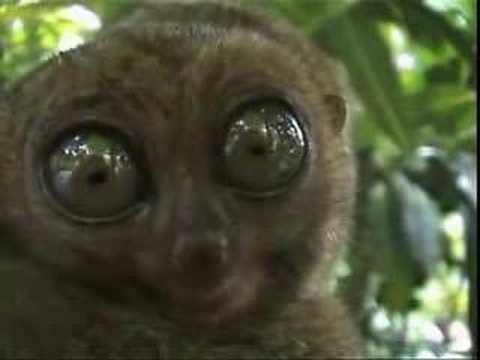 Big Eyed Lemur