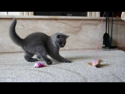 British cat Joker is 10 weeks old (Litter-J2)
