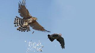 ястреб атакует голубей