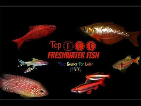 Top Red Fresh Water Fish (YSFC)