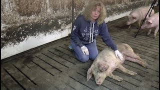 Video Face Off - Juliet Gellatley investigates Hogwood Pig Farm, Warwickshire download MP3, 3GP, MP4, WEBM, AVI, FLV November 2017