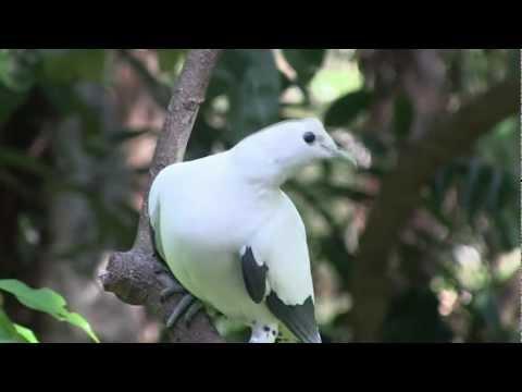 Torresian Imperial Pigeon or Nutmeg Pigeon or Torres Strait Pigeon,(Ducula spilorrhoa)