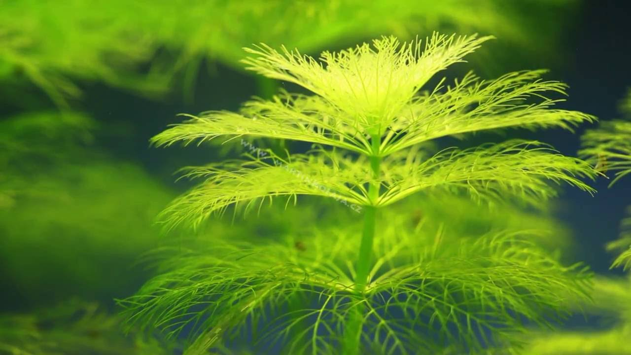 Limnophila aquatica - YouTube