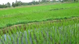 Rice plant growth