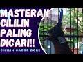 Cililin Gacor Paling Dicari  Mp3 - Mp4 Download