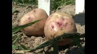 Сад и огород. Выращивание картофеля (1)