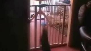 Cat flips and somersaults over gate....Funny