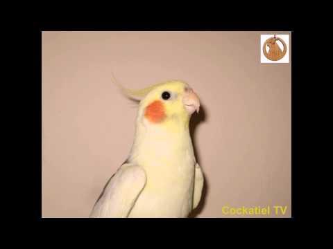 Как поют попугаи карелы слушать видео