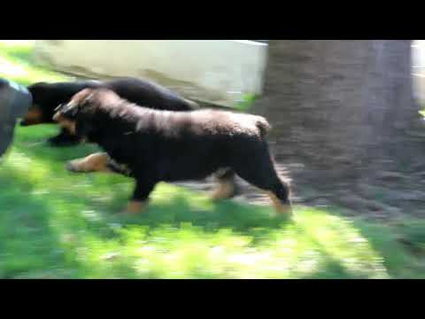Rottweiler Puppies For Sale Amos Miller