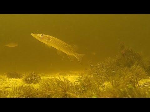 Что происходит под водой когда не клюет.Подводная съемка. Щука. Pike.Pike attacks.