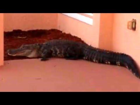 Alligator Gets Police Escort Off Home