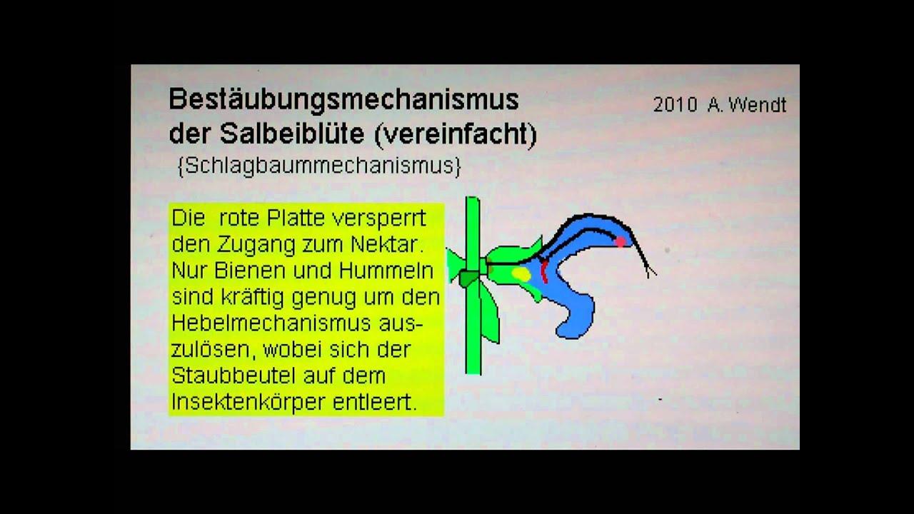 Bestäubung einer Salbeiblüte (vereinfacht) - YouTube