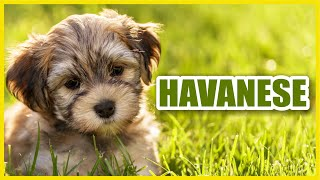 The Best of Havanese Dogs