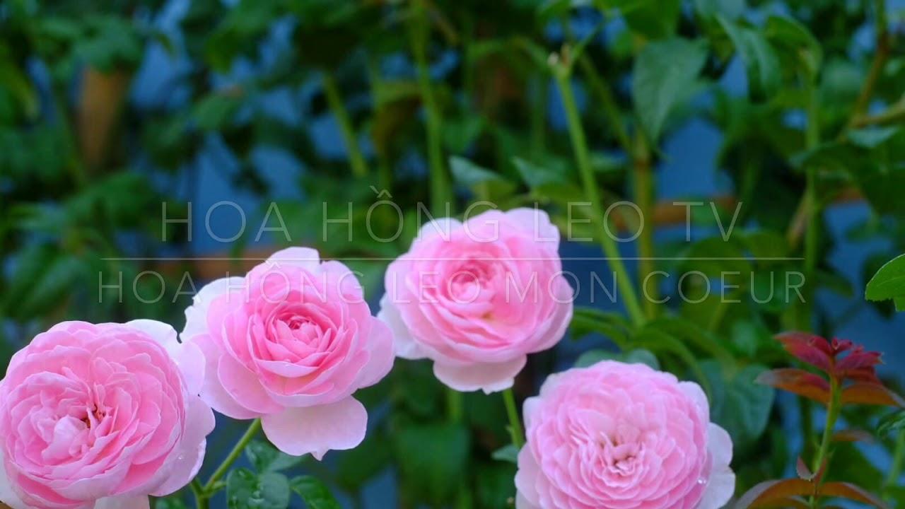 Hoa hồng Mon Coeur Rose (hồng leo Tuyết Hồng) - YouTube