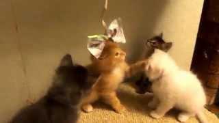Котята играют с бантиком