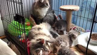 2月8日産まれ生後0日1匹と母違いの1月8日産まれのラグドールのMIX子猫達...