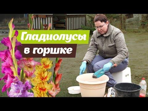 Вопрос: Как часто нужно менять место посадки гладиолусов?
