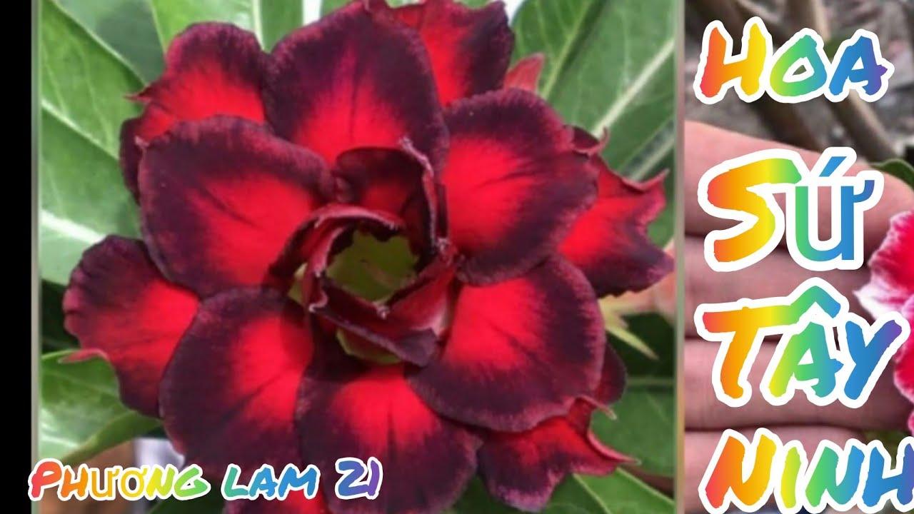 Bán sứ ghép u mầm hoa đẹp trưa ngày 07 07 2020 lh 0984478732# hoa sứ tây ninh