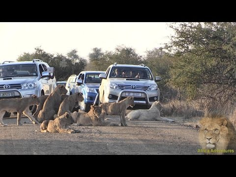 Massive Lion Sighting Causing Chaos On Kruger Park Road. Amazing Footage