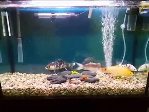Sera acuarios de carpas dentadas doovi for Carpas para acuario