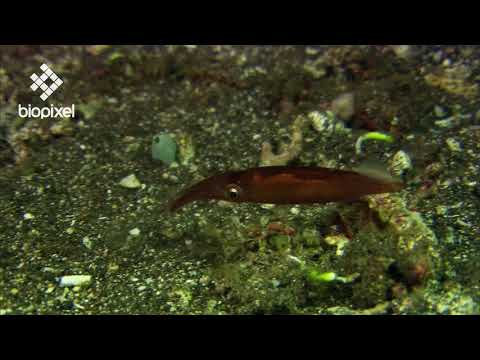 Oceanpedia   Critter finder   Mollusc   Cephalopod   Squid