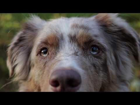 Thief | Canon 80D + Zhiyun Crane V2 | Pekka the Australian Shepherd