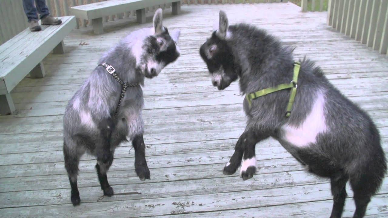 R Goats Good Pets Slow Motion Pyg...