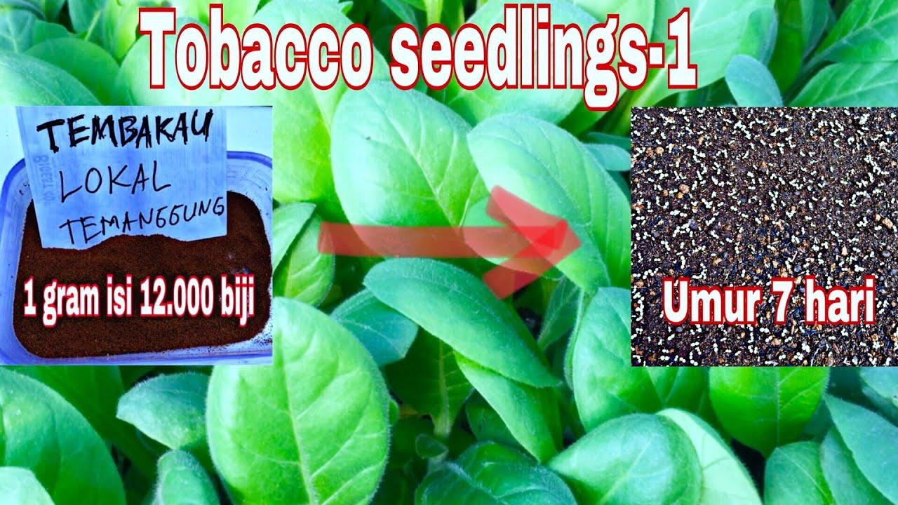 Cara Semai Tembakau Sawi Caisim Bayam Seledri Bibit Sayuran Benih Biji Tanaman Yang Berbiji Sangat Kecil Part1
