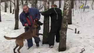 Собака для охраны, дрессировка, снижение давления на собаку уходом за дерево