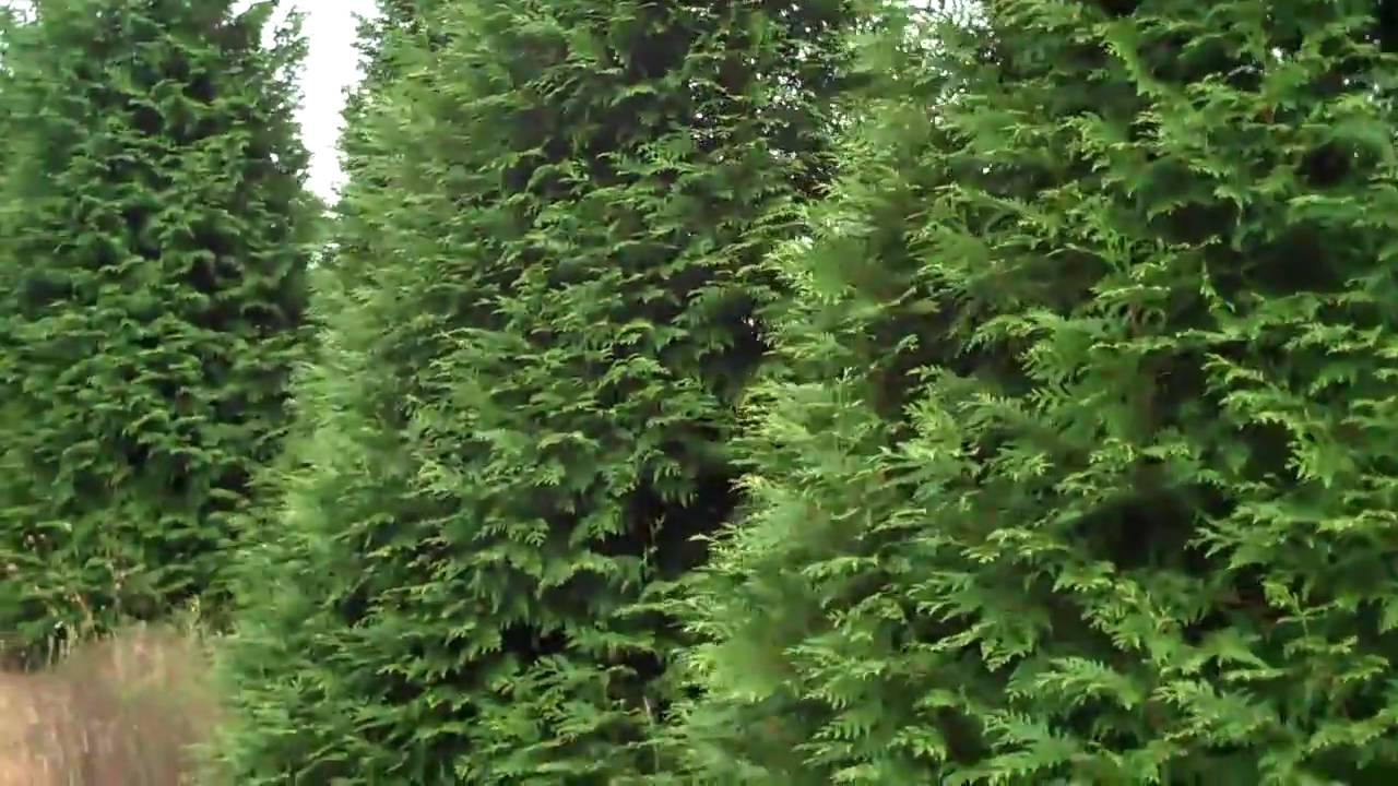 Arborvitae Green Giant Available Through Chris Orser