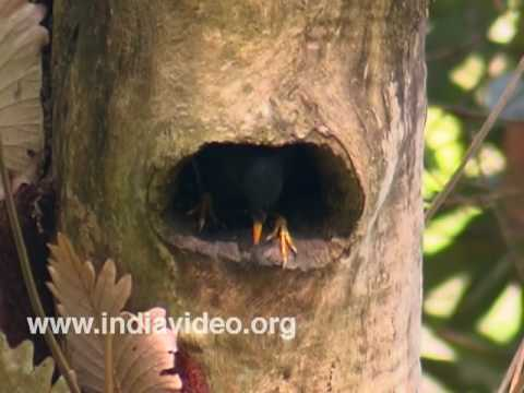 Jungle Myna or Acridotheres fuscus