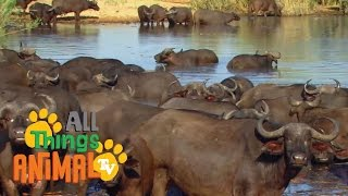 BUFFALOS | Animals for children. Kids videos. Kindergarten | Preschool learning