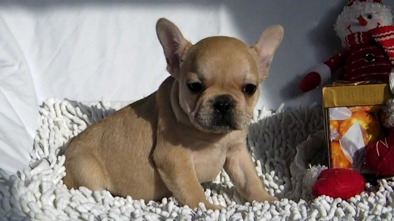 Bouledogue francese youtube for Bouledogue francese
