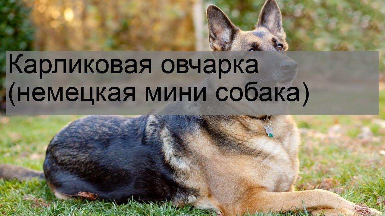 Карликовая овчарка (немецкая мини собака) - YouTube