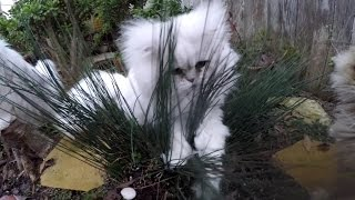 17 03 01 Persian kitty, Kalahari, Kavorting in the Klump