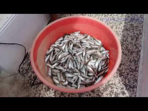 Getting Sardines for Ambassador Kyota