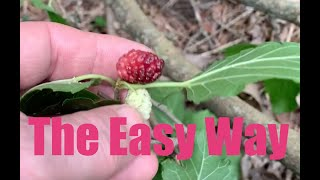 New Mulberry Trees from Cuttings