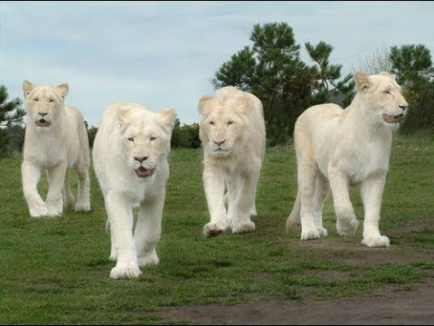 Rare White Lion Pictures White Lion Wallpapers White Lion Images