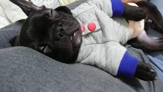 MIX犬→KID♂5歳 兄弟 LAW♂5歳 新米犬→BOB♂4ヵ月 ほのぼの日常生活.