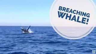breaching humpback whale off dana point