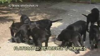 Flat-coated Retriever & Puppies