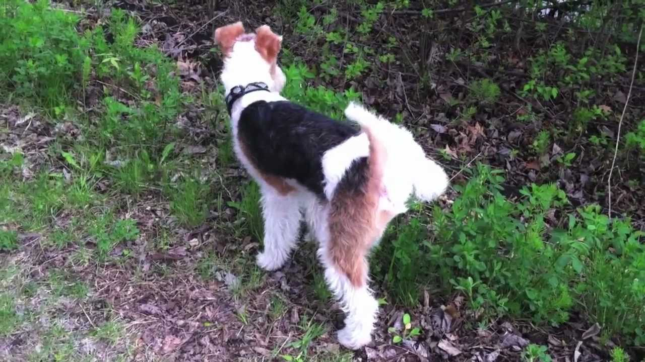 What\'s it like to own a Wire Fox Terrier? - YouTube