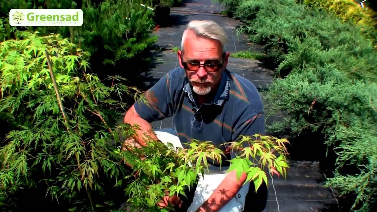 Клён ясенелистный – одно из лучших деревьев для. Архитекторов он является малоценной породой, то есть цена ему – копейка.