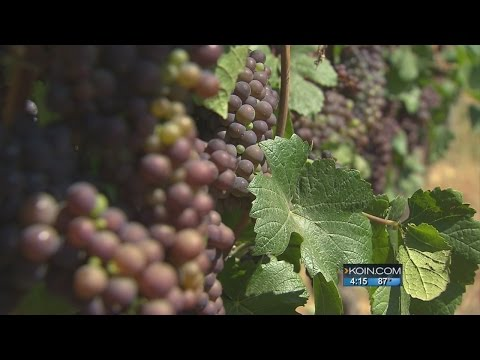 Earliest-ever grape harvest underway in Oregon
